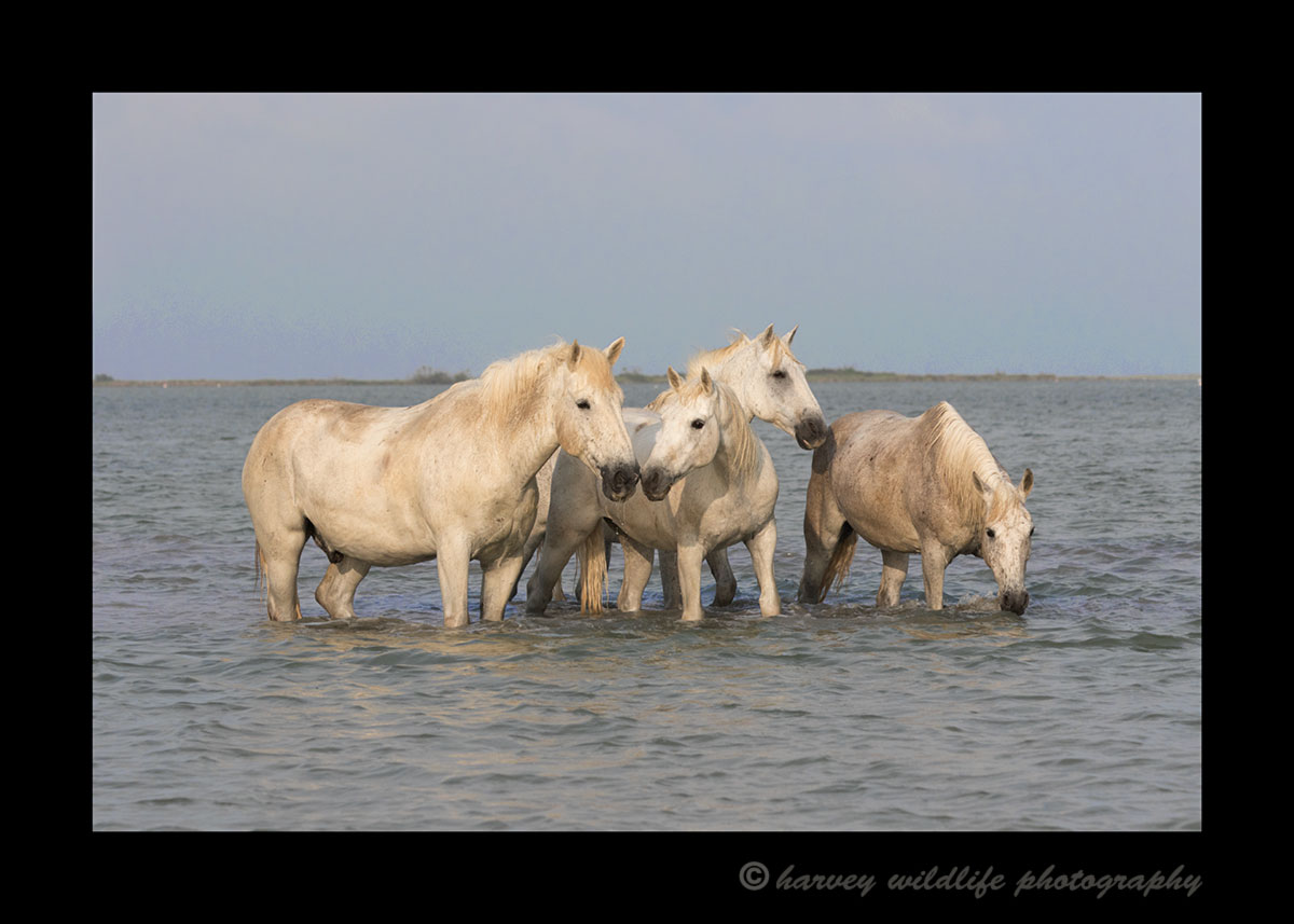 Camargue horses resting in the water.
