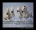 Camargue horses running in the water in Southern France