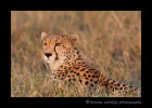 cheetah-IMG_0488