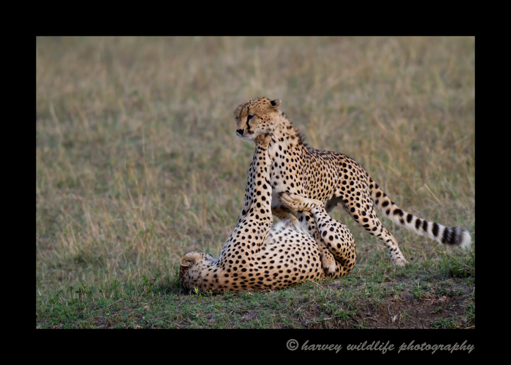 These cheetah brothers enjoy a short play session after their leisurely afternoon nap. It seemed to be a good warm up before chasing down dinner.
