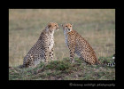 This picture is of two of the three cheetah famous cheetah brothers in the Masai Mara. They can be seen in many documentaries of cheetahs and wildlife in the Masia Mara. Cheetah brothers will form a coalition and stay together their entire lives where as female cheetahs remain solitary, raising cubs and getting together with males for mating purposes only.