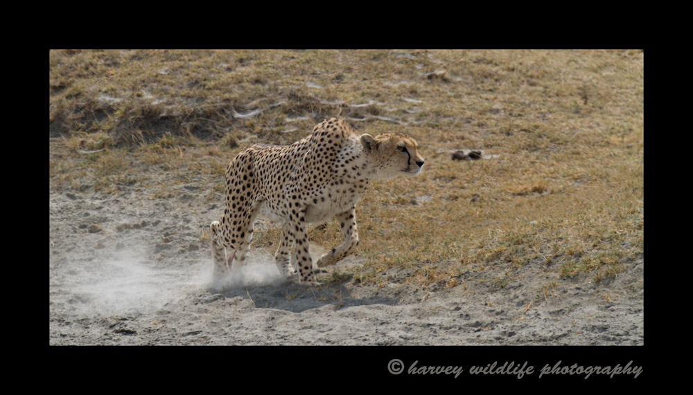 Picture of a cheetah hunting