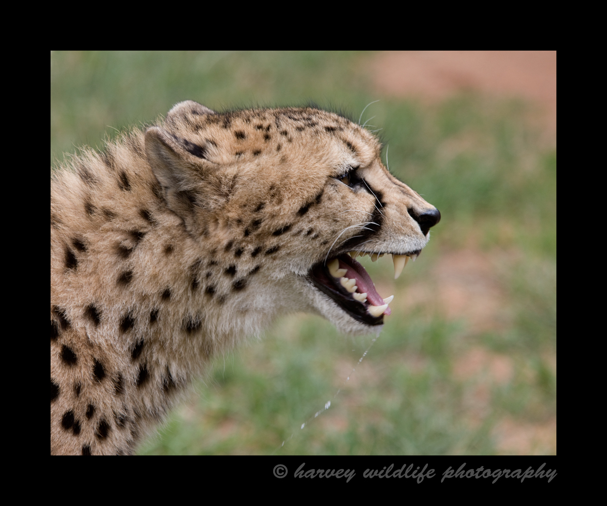 When there is food involved everyone wants their share and cheetahs are no exception. This photograph was taken at a wildlife cheetah sanctuary in South Africa. It is lunch time and this cheetah displays his dominance to ensure he gets his share.