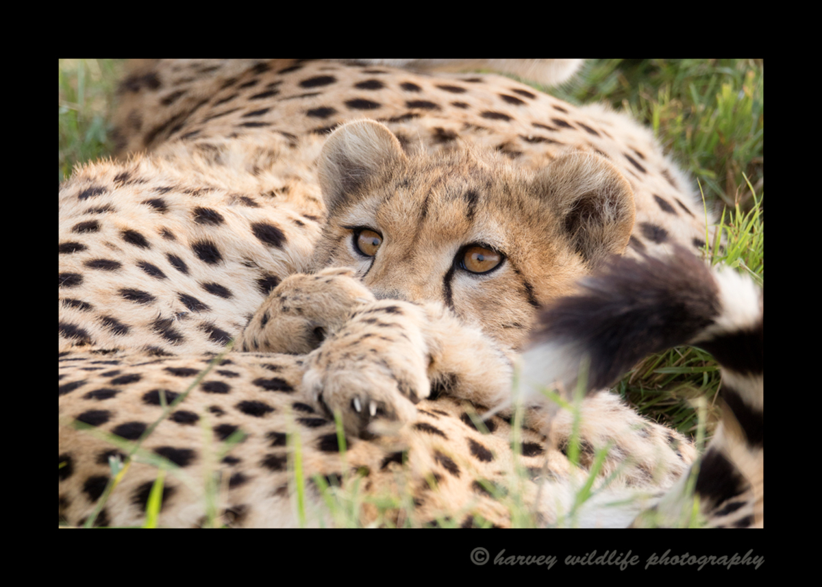 Picture of a cheetah mom and cub relaxing in the Masai Mara, Kenya. Photo by Harvey Wildlife Photography.