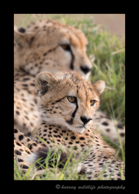picture of a cheetah cub with her mom in Masai Mara National Park. Photo by Greg of Harvey Wildlife Photography.