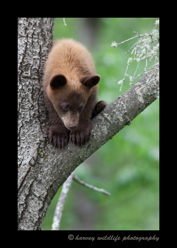 This cinamon bear cub climbs a tree to avoid a big male bear, then watches him from the safety of his perch.