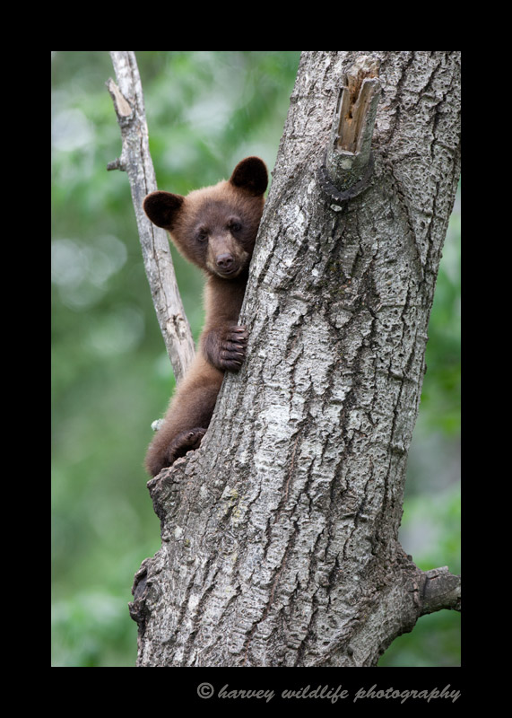 cinamon-bear-in-tree