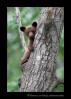 cinamon-bear-in-tree