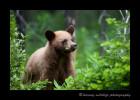 cinamon-bear