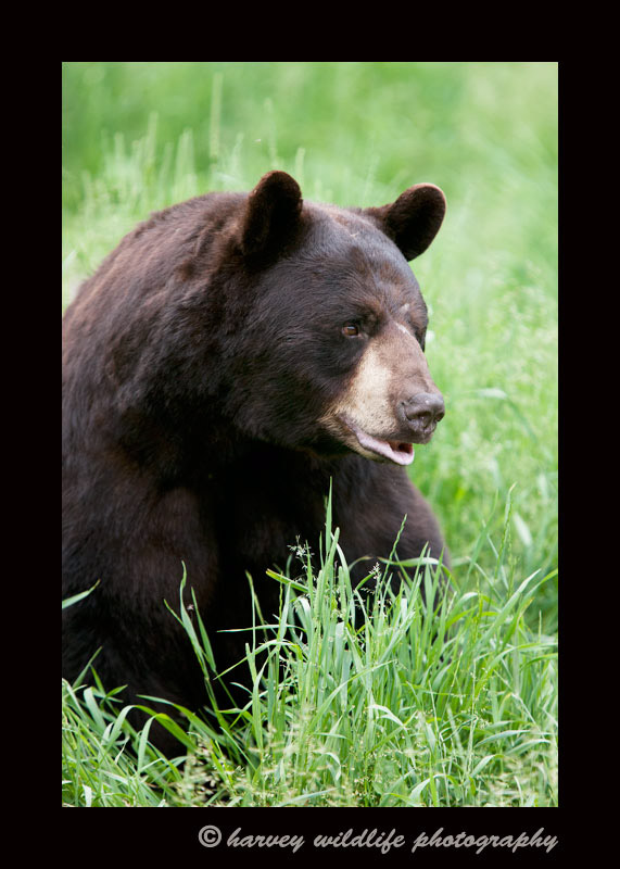 cinamon-black-bear