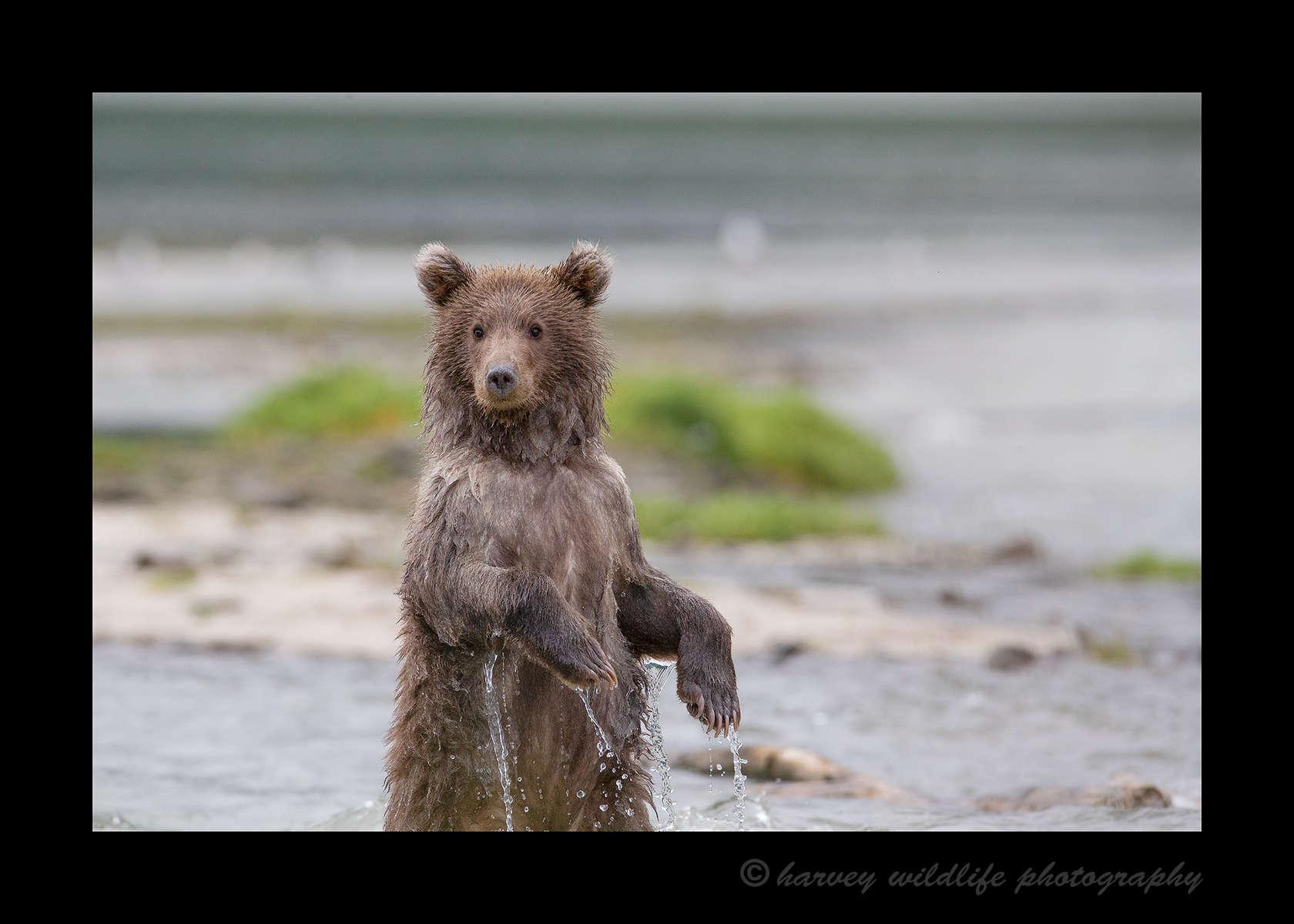 Brown Bear Katmai Cub