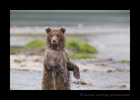 Brown Bear Katmai Cub