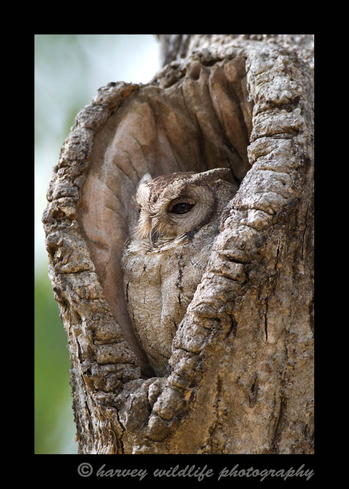 Coloured Scops Owl