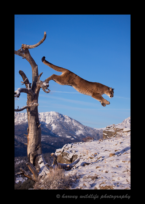 Picture of a cougar jumping out of a tree