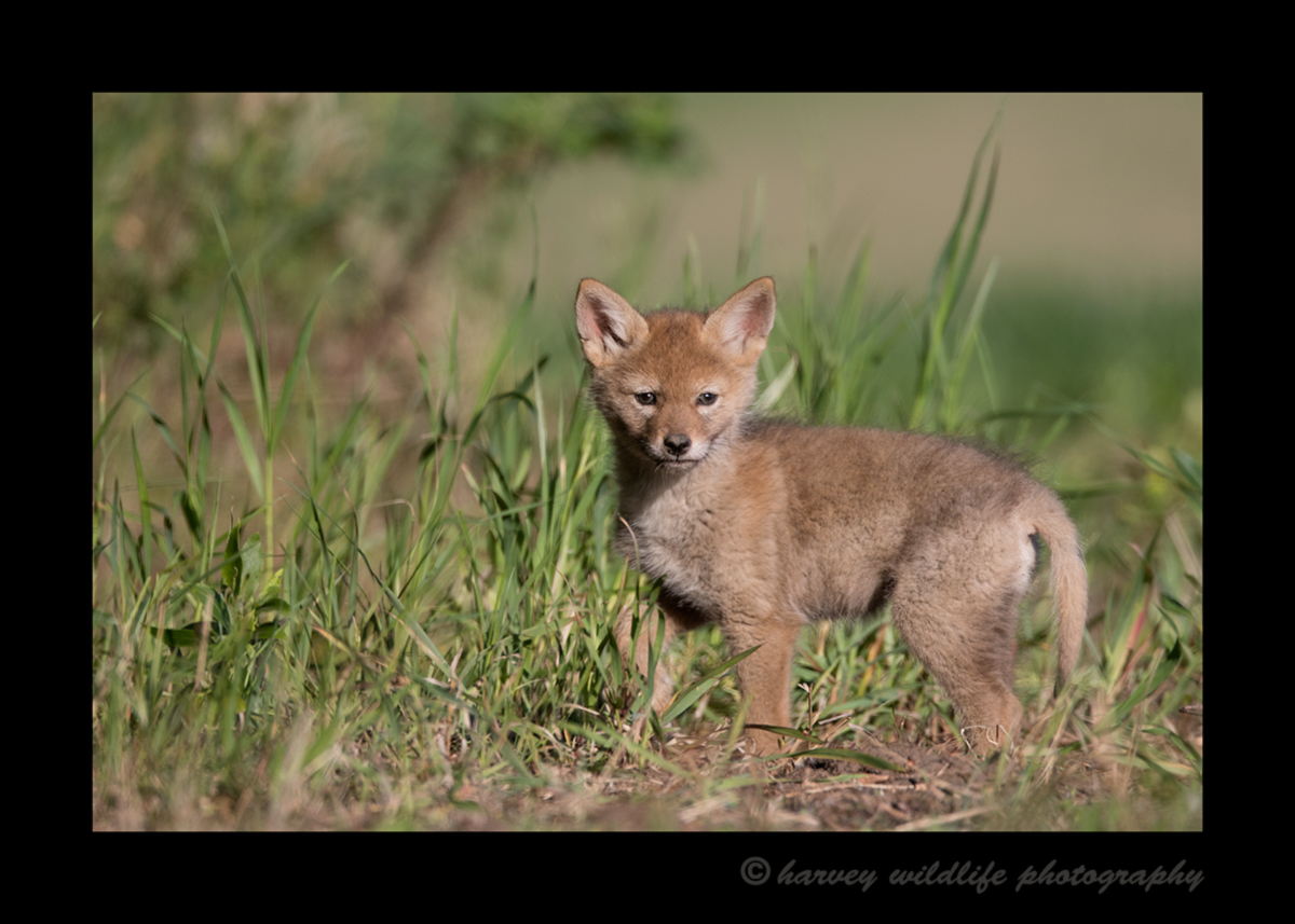 Picture of a coyote pup in a field near Stony Plain.