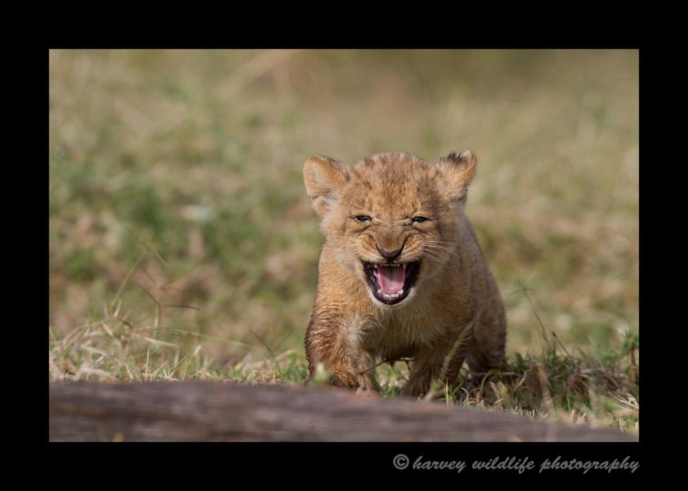 crying-cub