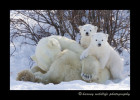 These cute little polar bear cubs pose breifly for a picture in Wapusk National Park.