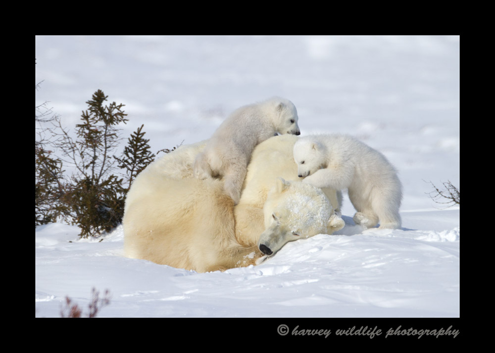 Picture of polar bear cubs playing on their mother.