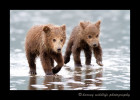 These two brown bear cubs were running across the ocean floor at low tide in an attempt to catch up to mommy so she could dig up some clams for them.