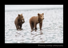 These brown bear cubs take a short break, then run to catch up to mom. They are on the ocean floor at low tide to dig for clams.