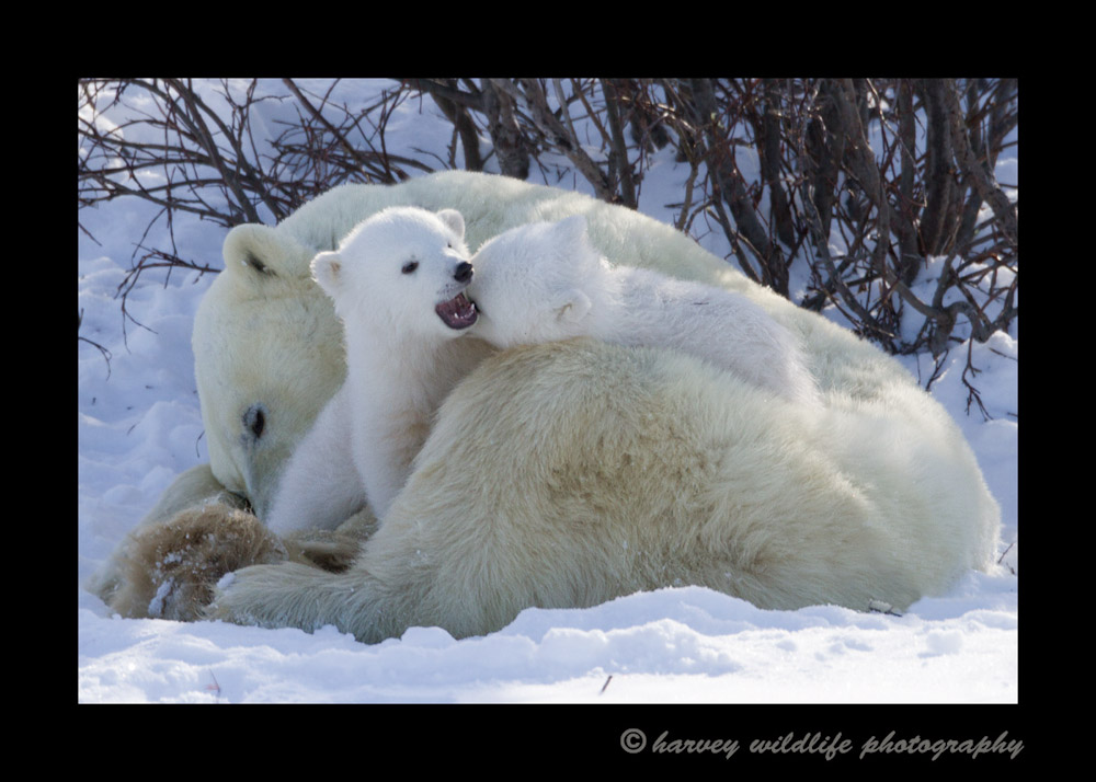 cubs-playing-on-mom-12