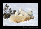 Polar bear cubs can be quite playful and they don't often stray very far from their mother, so it is common to see the cubs battling on top of their mom.