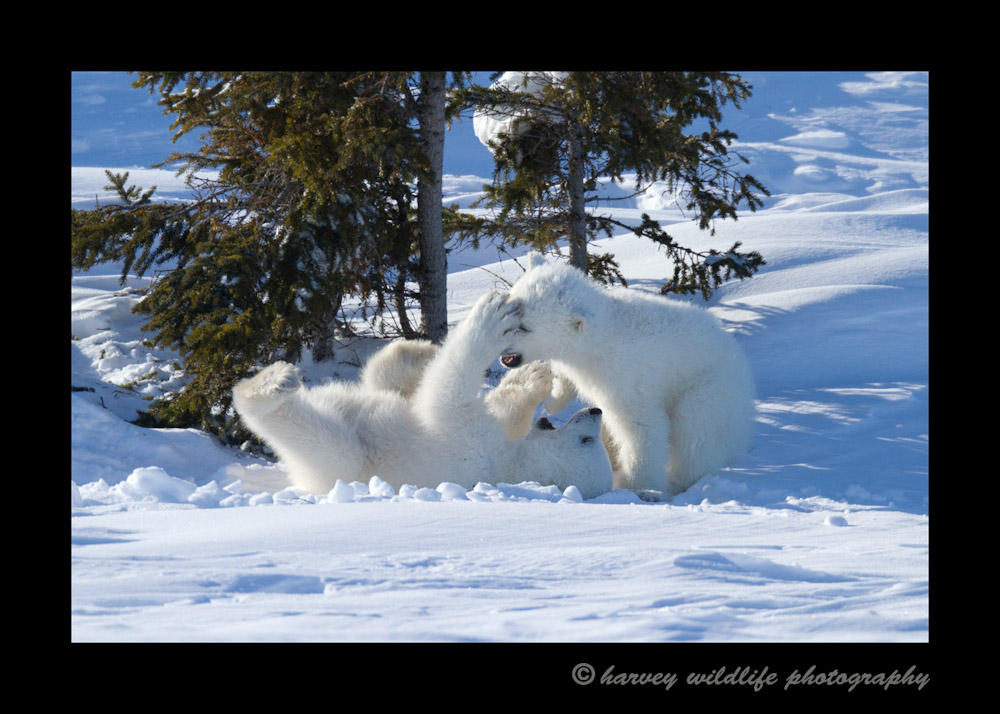 cubs_fighting_1