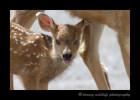 deer-fawn-and-mom-IMG_6567