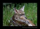 deer-fawnIMG_5418