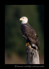 eagle_perch