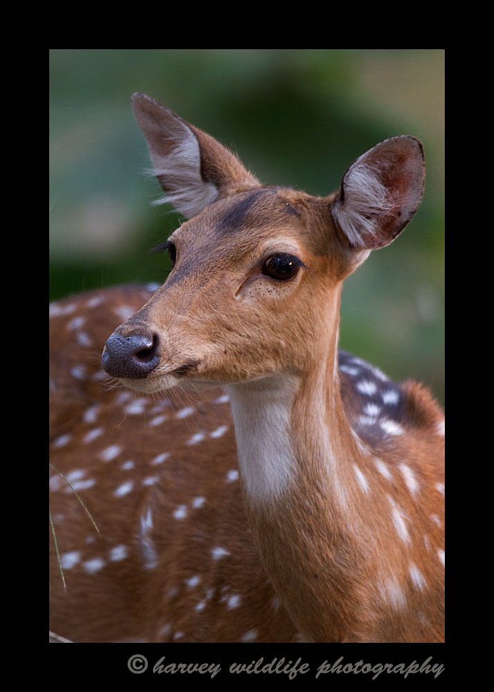 female-spotted-deer
