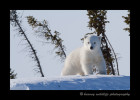 female_polar_bear_cub_onden