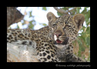 four_month_old_leopard_cub