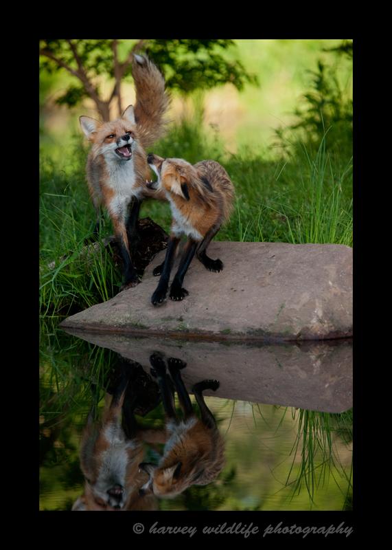 Wildlife model red fox in Minnesota, USA.