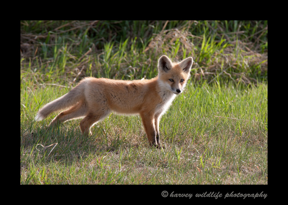 Fox Kit Walking