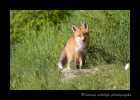 fox-kit