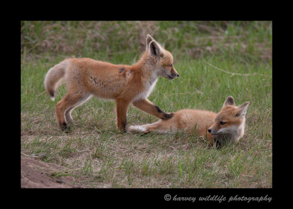 These fox kits siblings just emerged from their den and were enjoying a little play time.