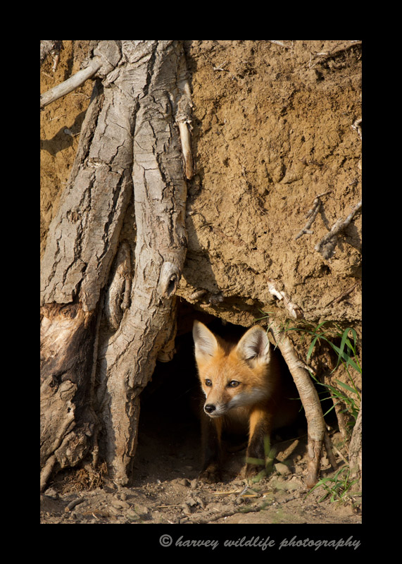 fox_den_vertical