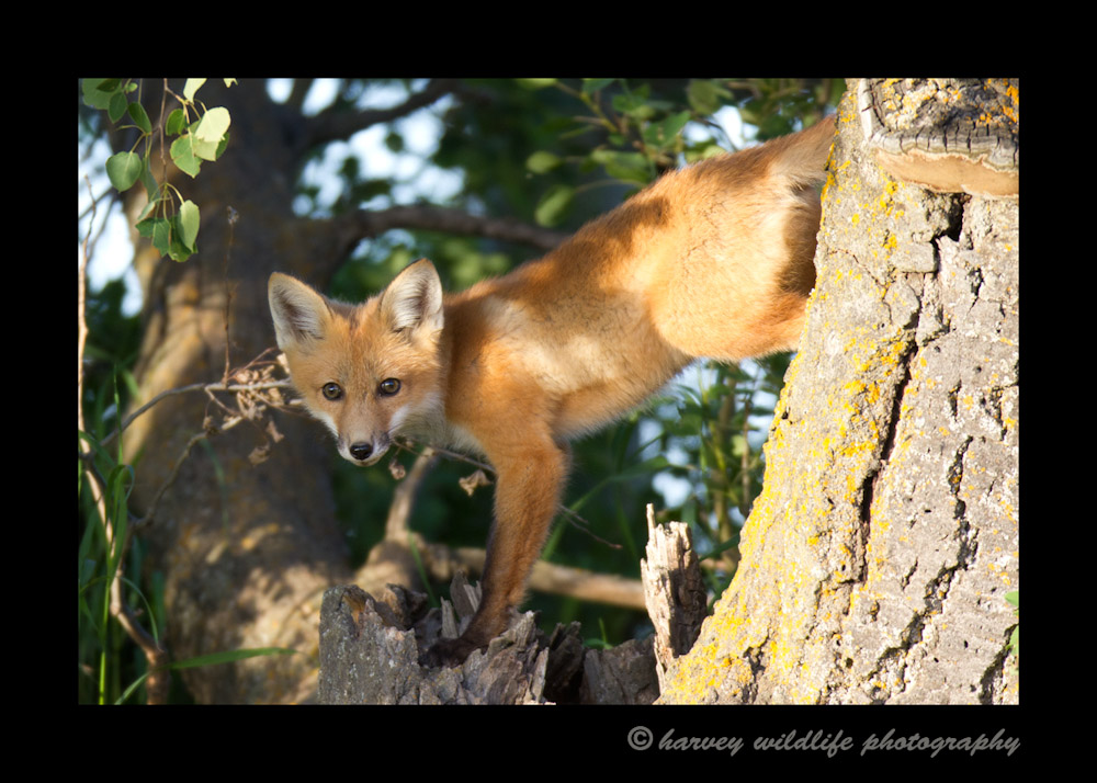 Fox In Tree