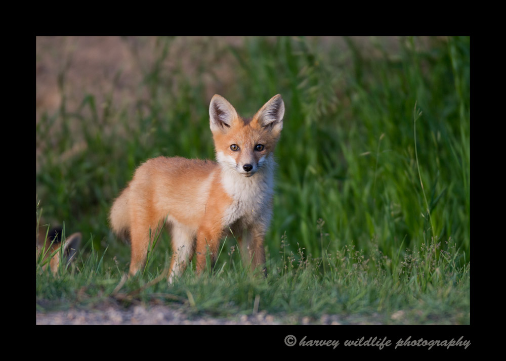 fox_kit_at_attention