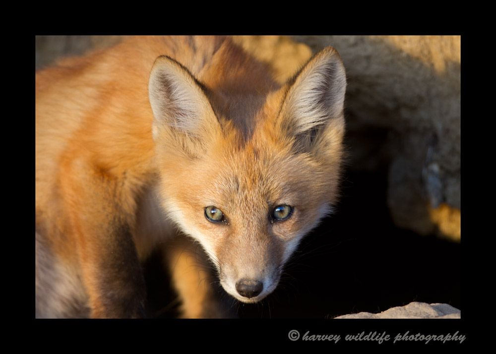 After my photo shoot was over and my car was packed I decided to take a few more pictures of the fox kits in case they were still out of the den. As I was passing by two foxes were still curious, so I stopped to snap off a couple more images.