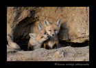 fox_kit_duo