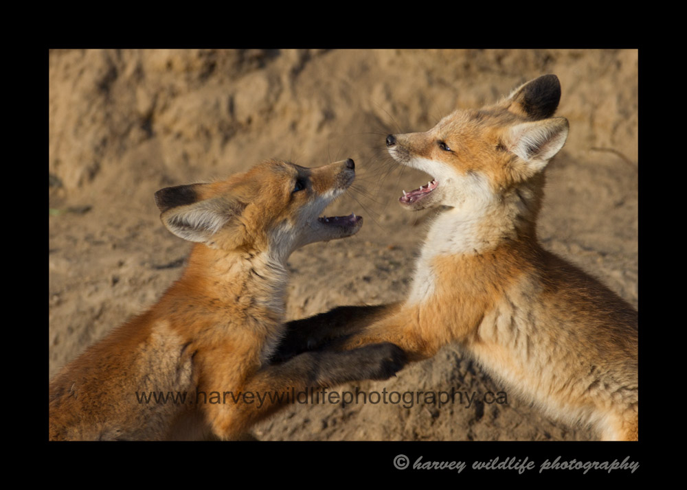 fox_kit_fight