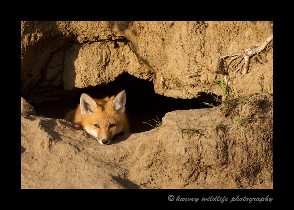 fox_kit_relaxing_1