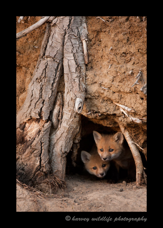 As this was my first sighting of the fox kits and their first sighting of me, they were very cautious, remaining inside their den. At the same time they were curious and couldn't help peeking out from time to time.