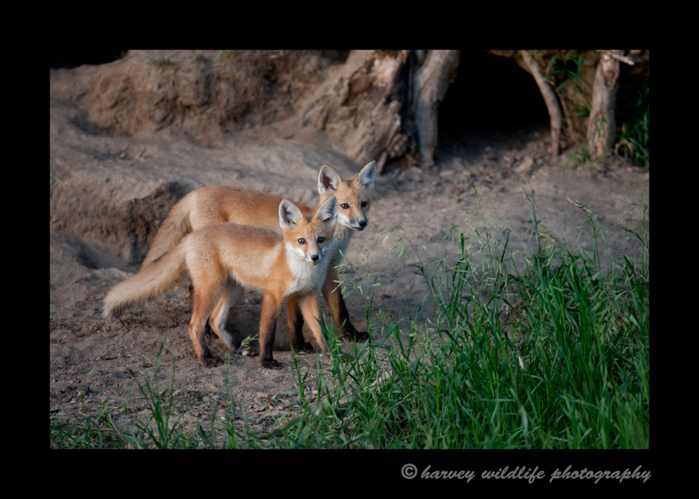 Fox Kits in the Evening