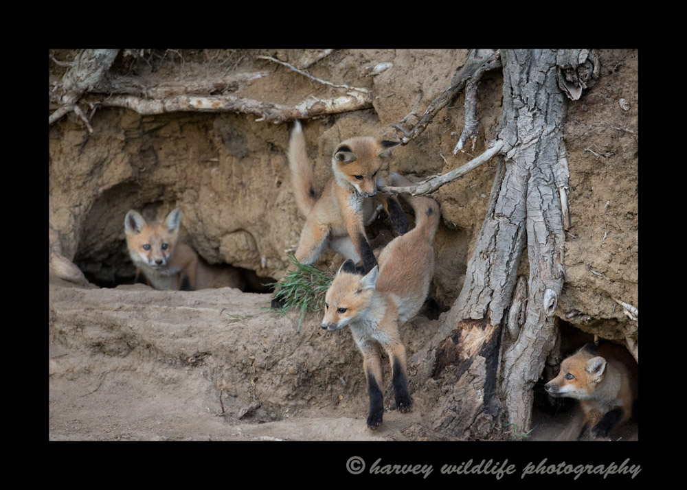 All four fox kits get involved in a little play session. The fox kits are getting more fun to watch week to week as they get older and more active.