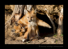 Picture of fox kits playing near Stony Plain, Alberta. One sibling is confused and bites himself in the leg. Photo by Harvey Wildlife Photography