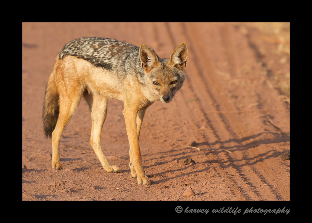 This little black backed jackal was the first resident that greeted us on the way into the Ngorongoro Crater.