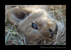 grass_lion